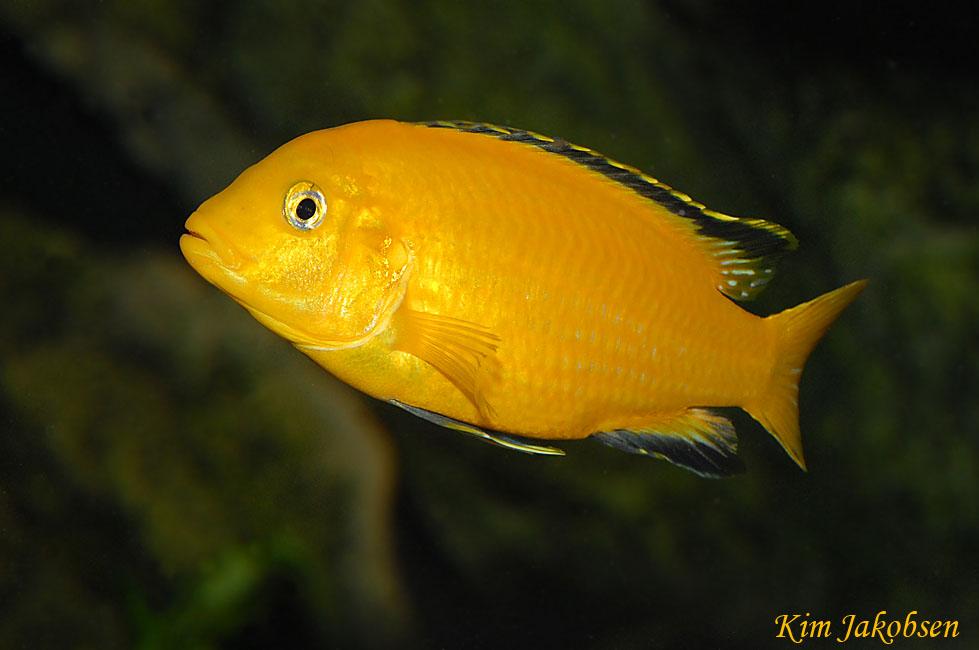 ... caeruleus gold home malawi cichlider malawi cichlids mbuna