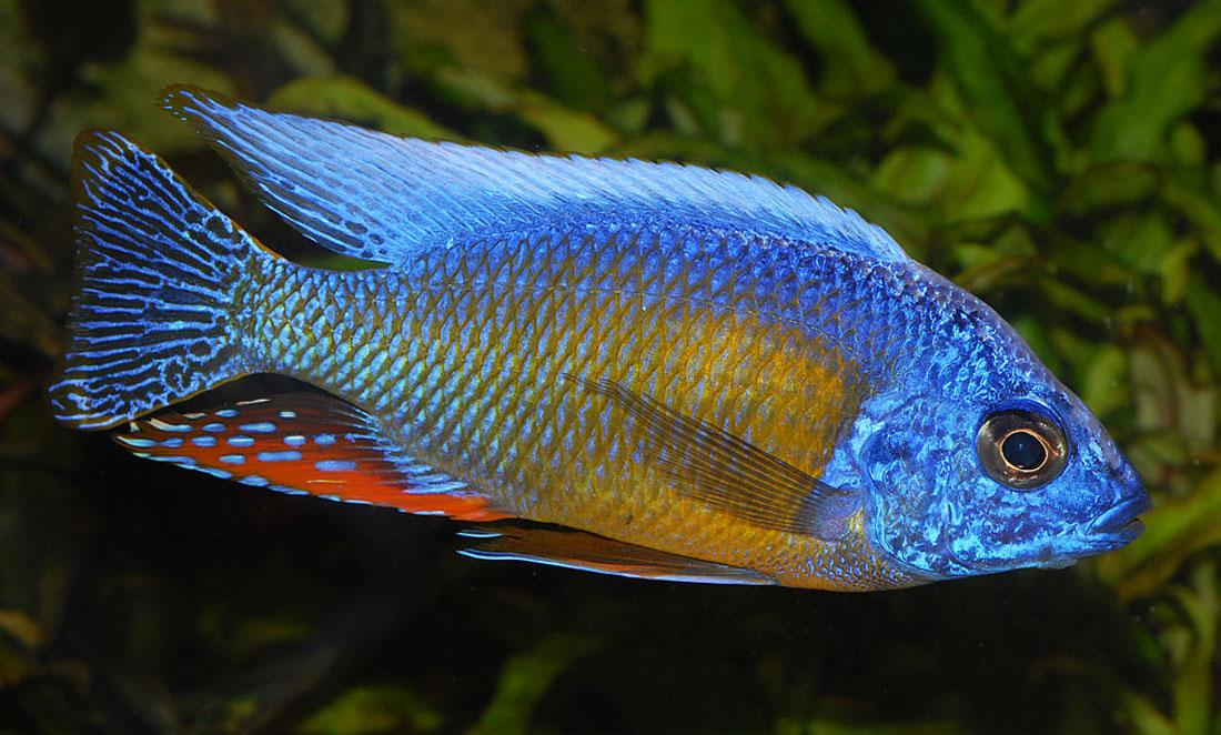 Malawi Peacocks and Haps in SG LFS. - Arofanatics Fish Talk Forums