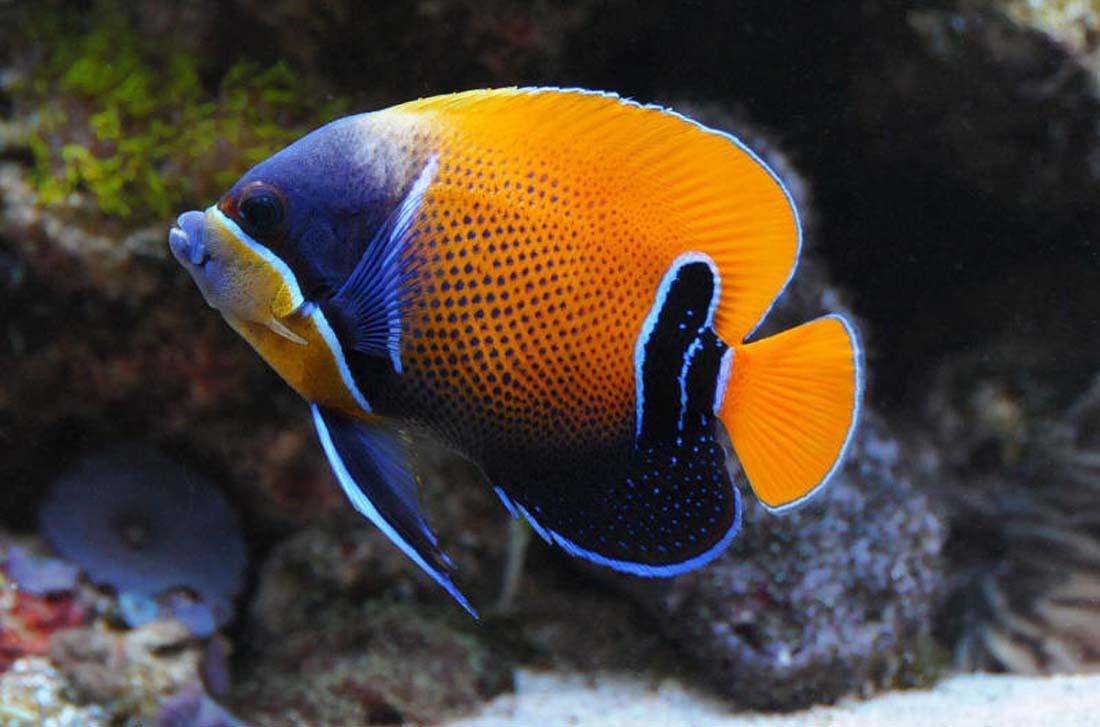 Majestic Angelfish | Saltwater Fish | Pinterest